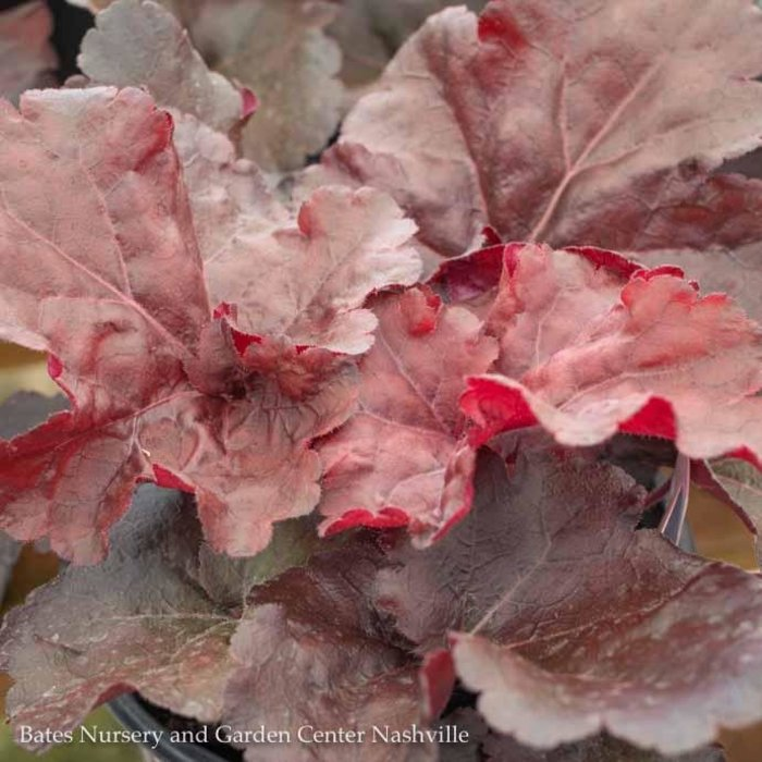 #1 Heuchera Mahogany Monster/Coral Bells