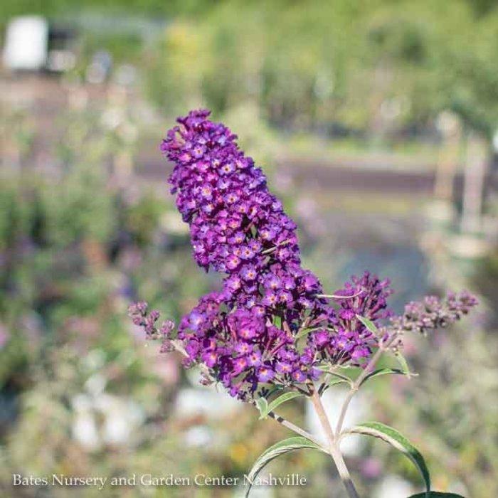 #3 Buddleia davidii Black Knight/Butterfly Bush Dark Purple