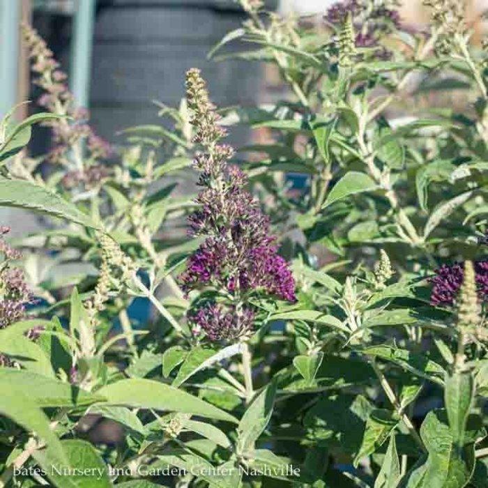#3 Buddleia Dark Dynasty/Butterfly Bush Royal Purple Compact