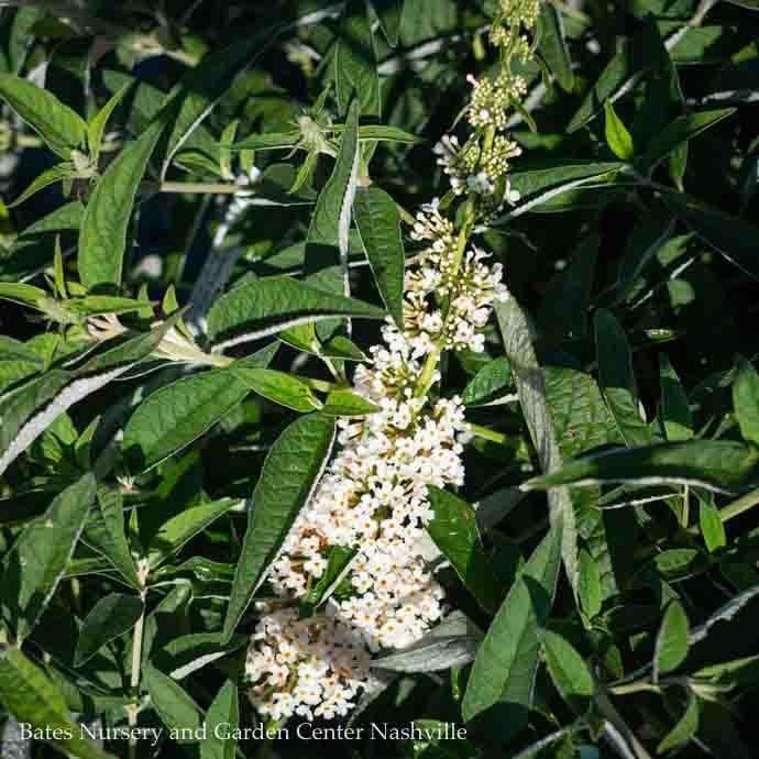 #3 Buddleia Humdinger Little Angel/White Compact Butterfly Bush