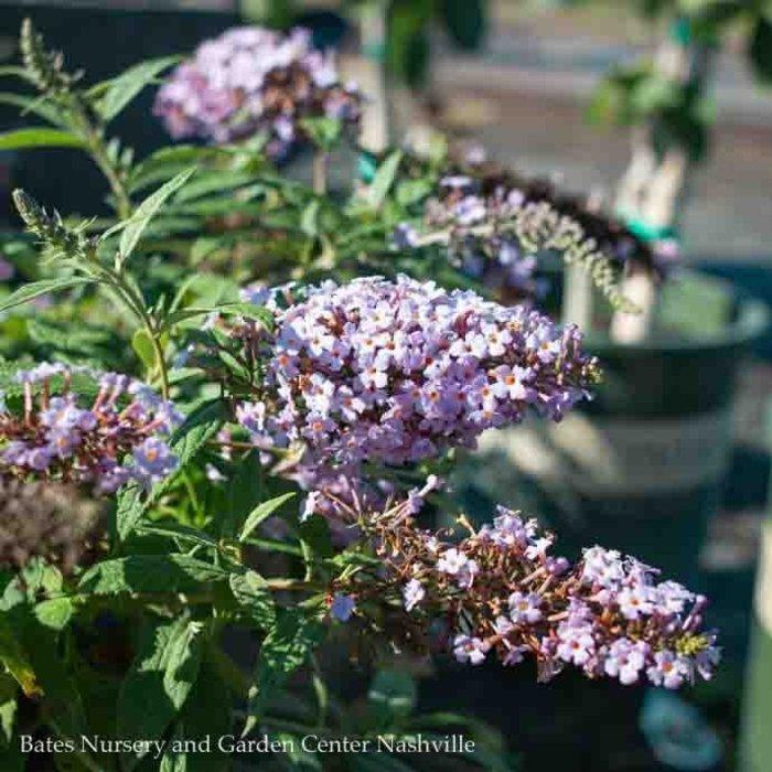 #3 Buddleia Lavender Cascade/Butterfly Bush