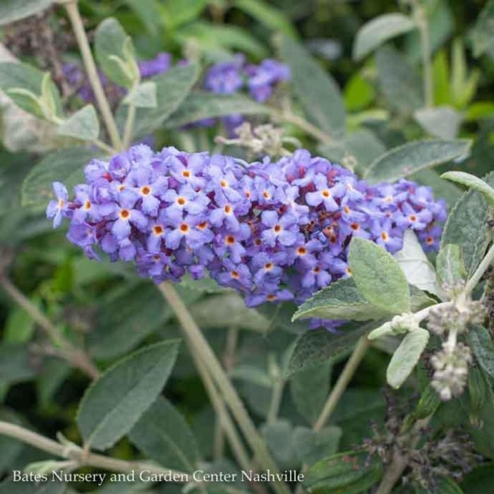 #3 Buddleia Flutterby Petite Blue Heaven/Dwarf Butterfly Bush