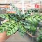 4p! Calathea Asst /Tropical