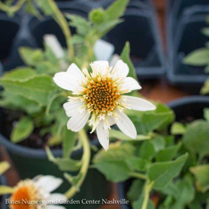 #1 Echinacea p. Milkshake/White Coneflower