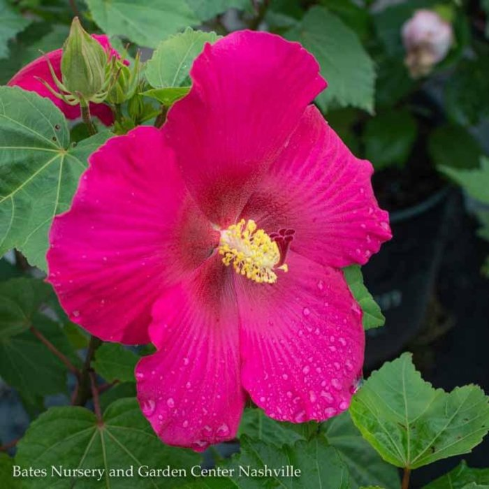 #3 Hibiscus Big Hit Red/Hardy