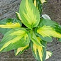 #1 Hosta Etched Glass/Shadowland Series