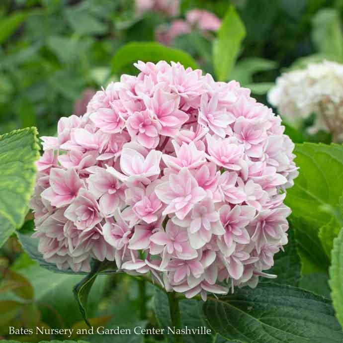 #3 Hydrangea mac Freedom (Double Delights)/Bigleaf/Mophead Rebloom Blue to Pink