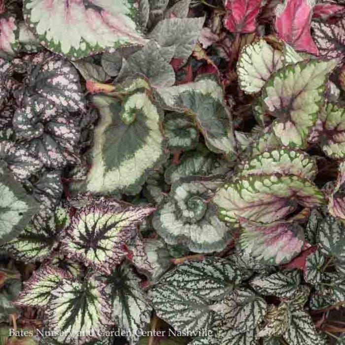 6p! Begonia Rex Begonia /Tropical