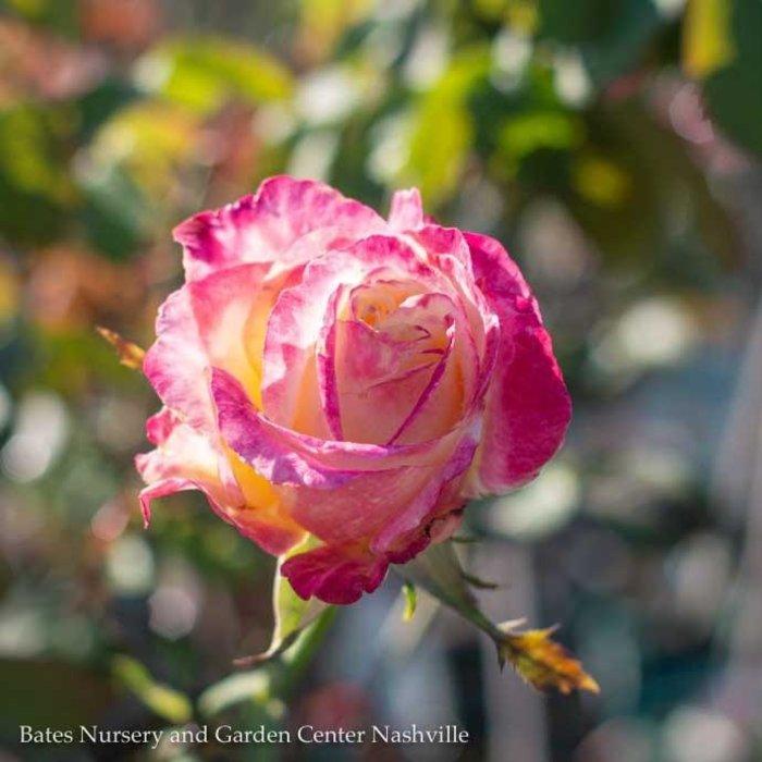 """#5 36"""" PT Rosa Double Delight/Hybrid Tea Rose Tree NO WARRANTY"""