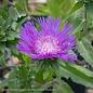 #1 Stokesia Honeysong Purple/Stokes Aster