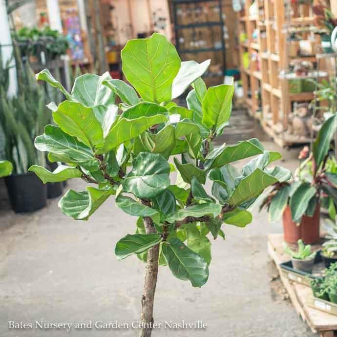 10p! Ficus Lyrata STD Standard /Fiddleleaf Fig /Tropical No Warranty