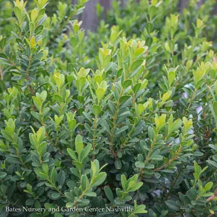 #1 Buxus Baby Jade/Dwarf Boxwood