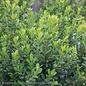#3 Buxus Baby Jade/Dwarf Boxwood