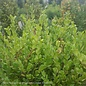 #5 Cone Buxus micro var japonica Winter Gem/Boxwood Pyramidal