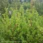 #5 Buxus micro var japonica Winter Gem/Boxwood