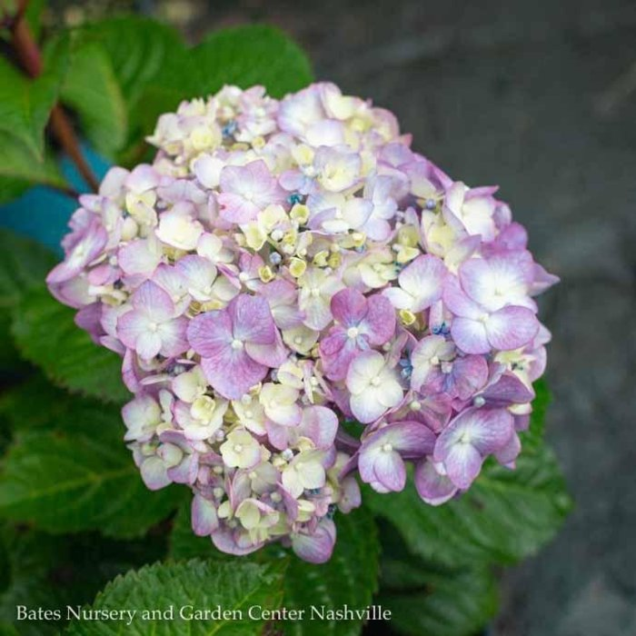#2 Hydrangea mac Bloomstruck (Endless Summer)/Bigleaf/Mophead Repeat Rose-pink or Purple