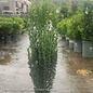 #3 Ilex cre Sky Pencil/Japanese Holly Columnar (female)