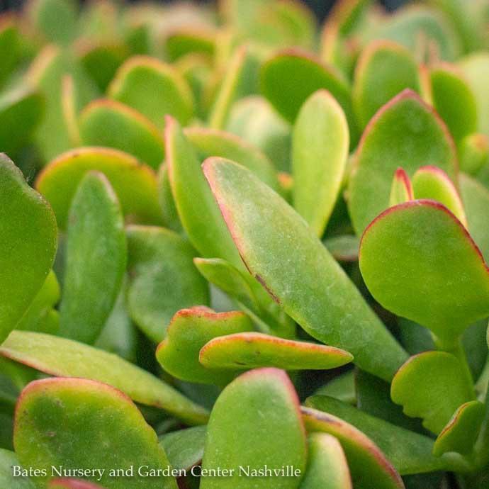 4p! Crassula Jade Sunset /Tropical