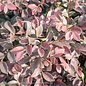 #3 Loropetalum chin Ruby/Fringeflower NO WARRANTY