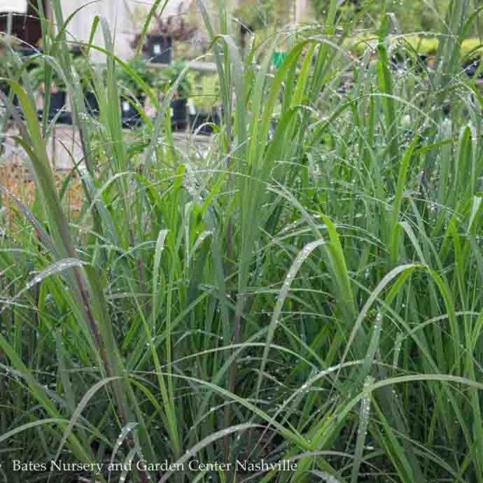 #1 Grass Andropogon gerardii 'Blackhawks'/Big Bluestem