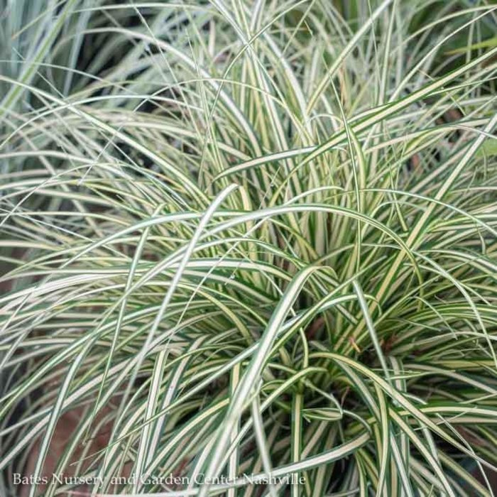 #1 Grass Carex osh EverColor Everoro/Sedge Variegated