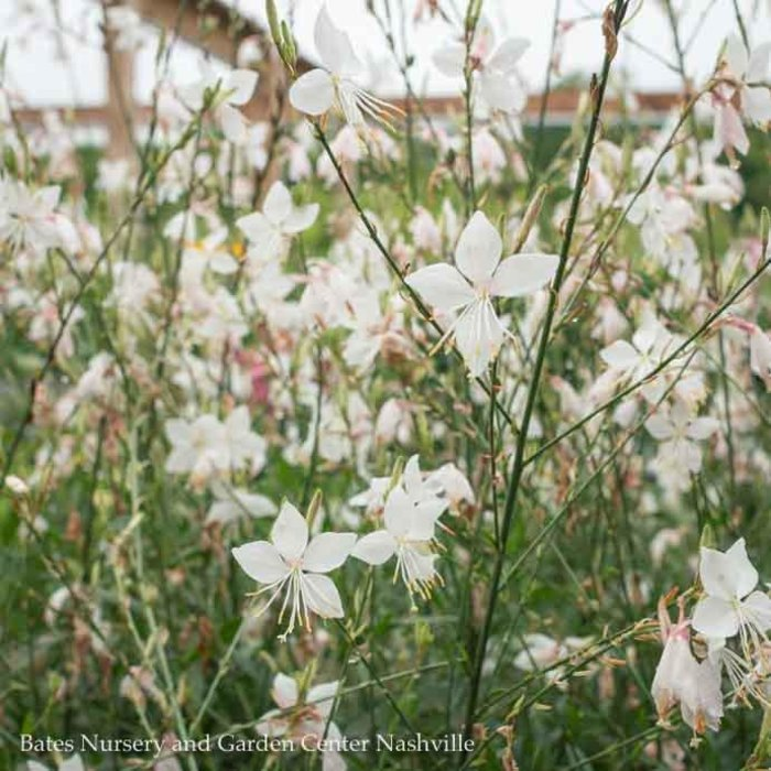 #1 Gaura Snow Fountain