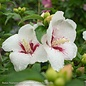 #2s Hibiscus syr Lil' Kim/Rose of Sharon/Althea