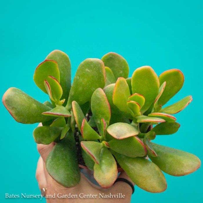 4p! Crassula / Jade Plant Asst /Tropical