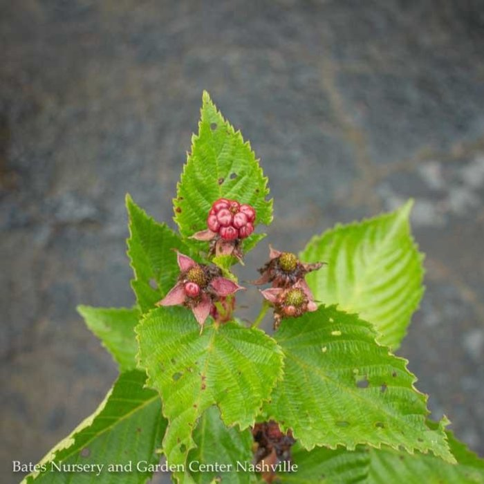 Edible #1 Rubus Apache/Blackberry Thornless