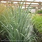 #1 Grass Panicum virg Totem Pole/Switch