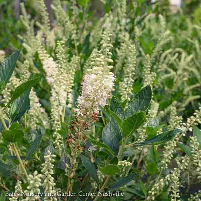 #3 Clethra alnifolia Hummingbird/White Summersweet