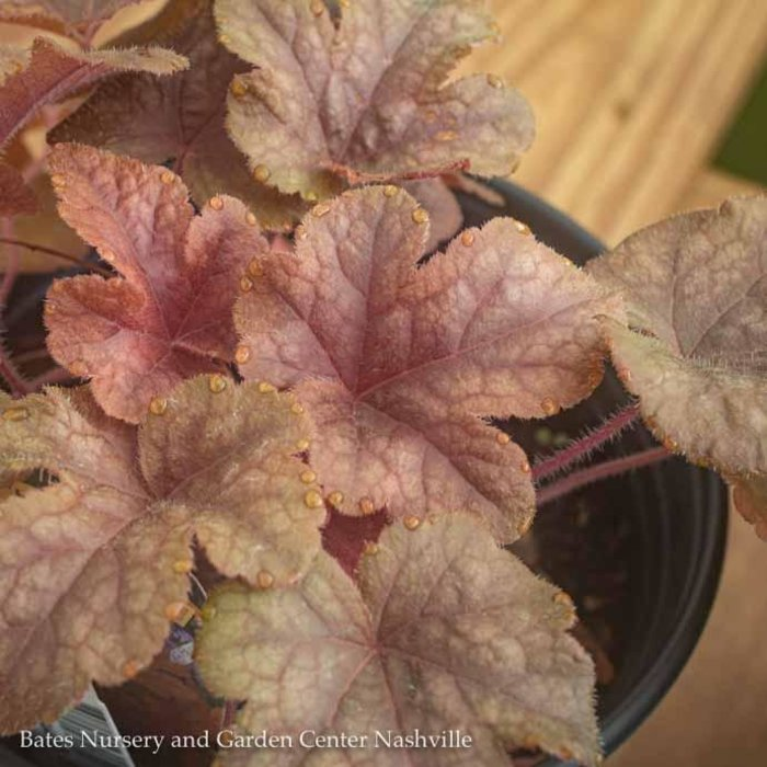#1 Heucherella Buttered Rum/Foamy Bells