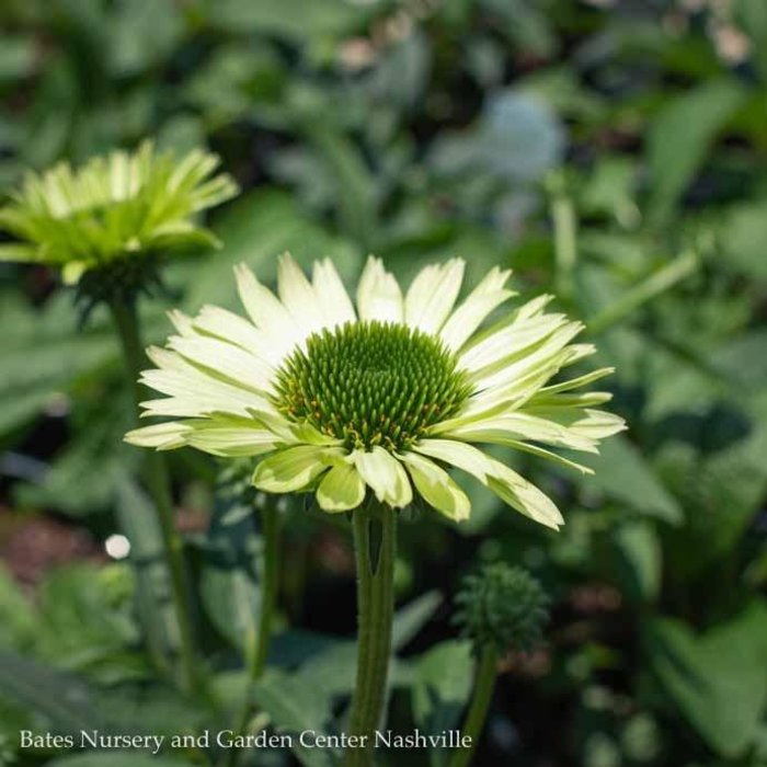 #1 Echinacea Green Jewel/Coneflower