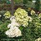 #3 Hydrangea pan Vanilla Strawberry/Panicle White to Pink