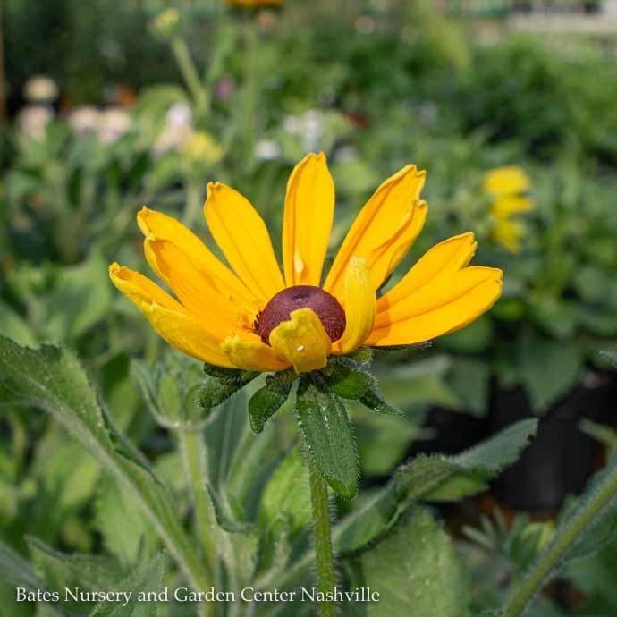 #1 Rudbeckia hirta Indian Summer/Gloriosa Daisy