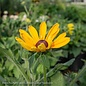 #1 Rudbeckia hirta Indian Summer/Gloriosa Daisy
