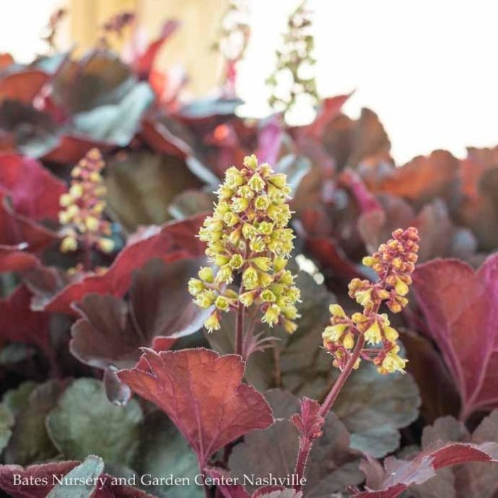 #1 Heuchera Blondie/Coral Bells