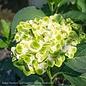 #3 Hydrangea mac Everlasting Green Cloud/Bigleaf/Mophead