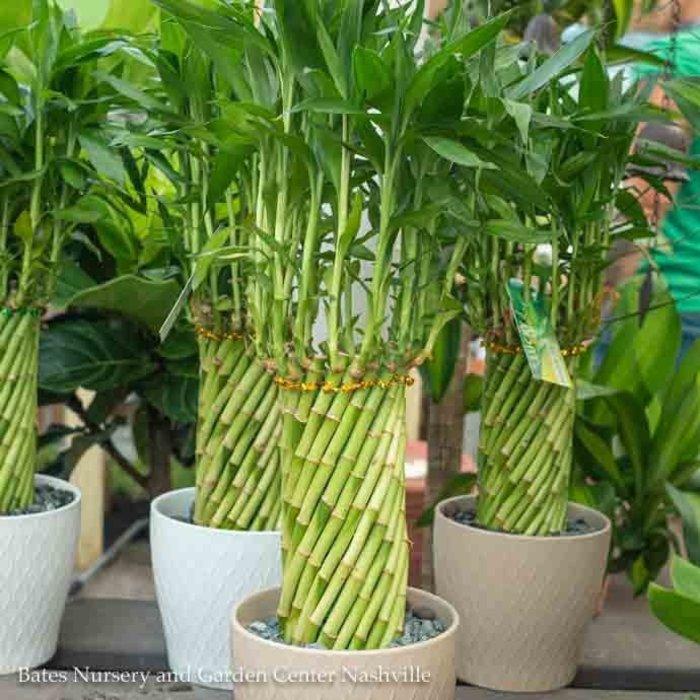 6.5p! Lucky Bamboo Large Tornado in Ceramic Pot /Tropical