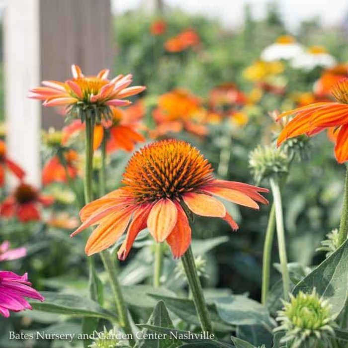 #1 Echinacea Sombrero Adobe Orange/Coneflower