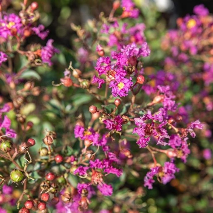 #3 Lagerstroemia Bellini Grape/Crape Myrtle Dwarf Lavender