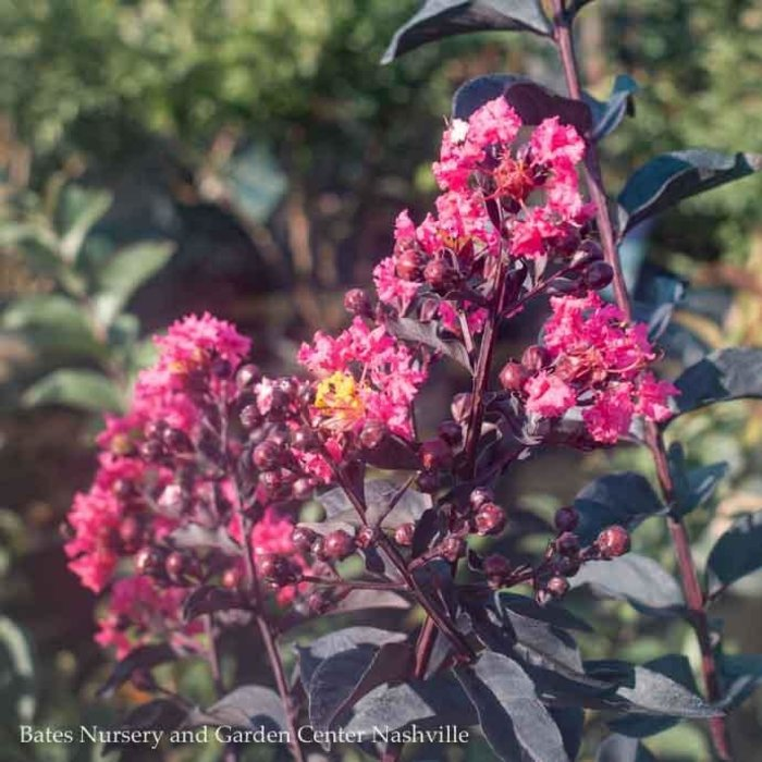 #3 Lagerstroemia Midnight Magic/Crape Myrtle Dwarf Dark Pink