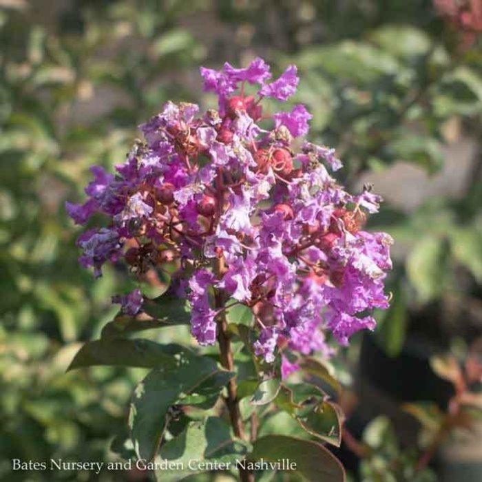 #3 Lagerstroemia Purple Pop/Crape Myrtle Semi-dwarf