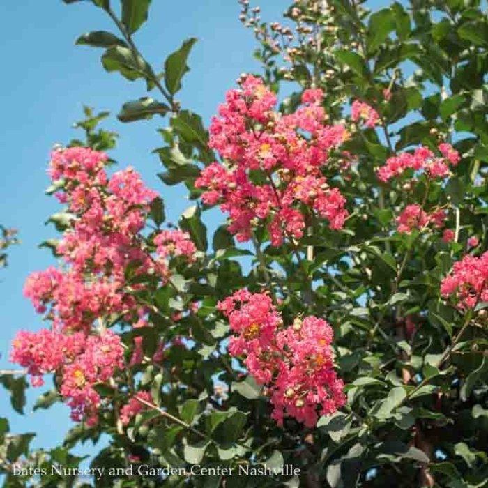 #5 Lagerstroemia x Tuscarora/Crape Myrtle Dark Coral-pink