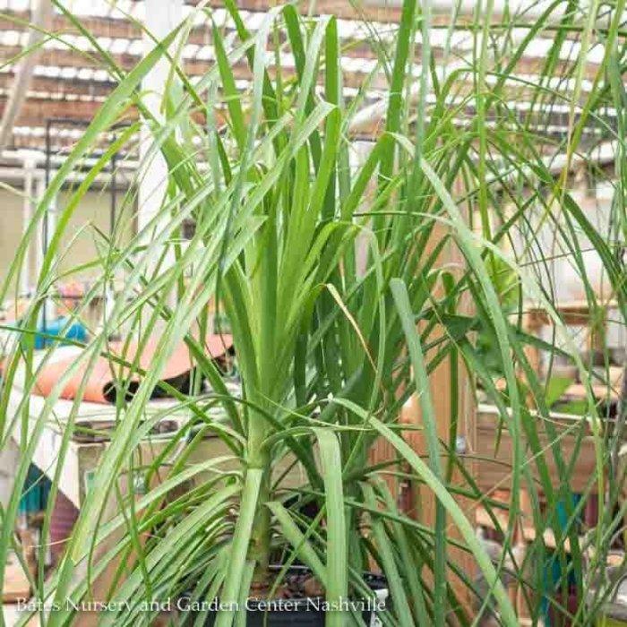 10p! Palm Beaucarnea rec / Ponytail Palm /Tropical