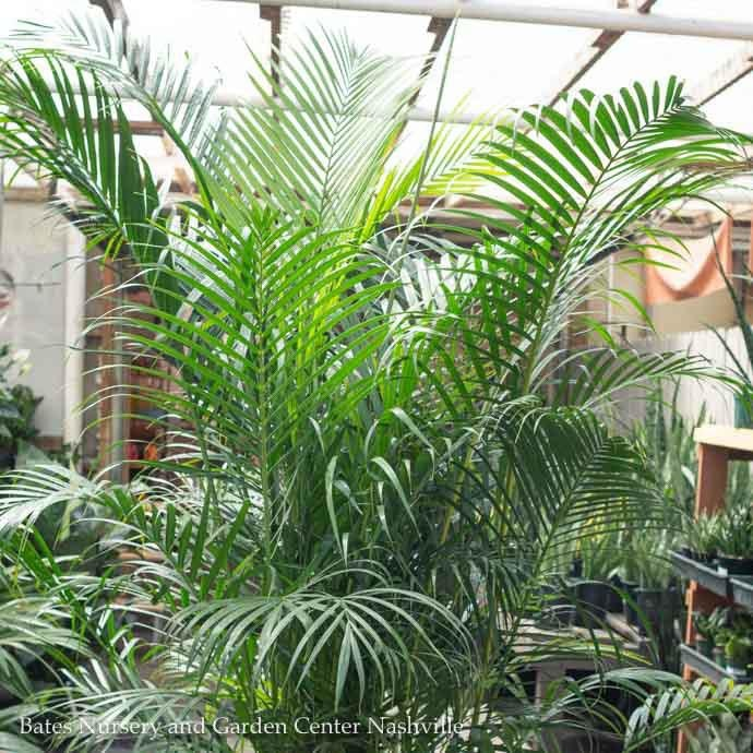 10p! Palm Dypsis lutescens / Areca Palm /Tropical