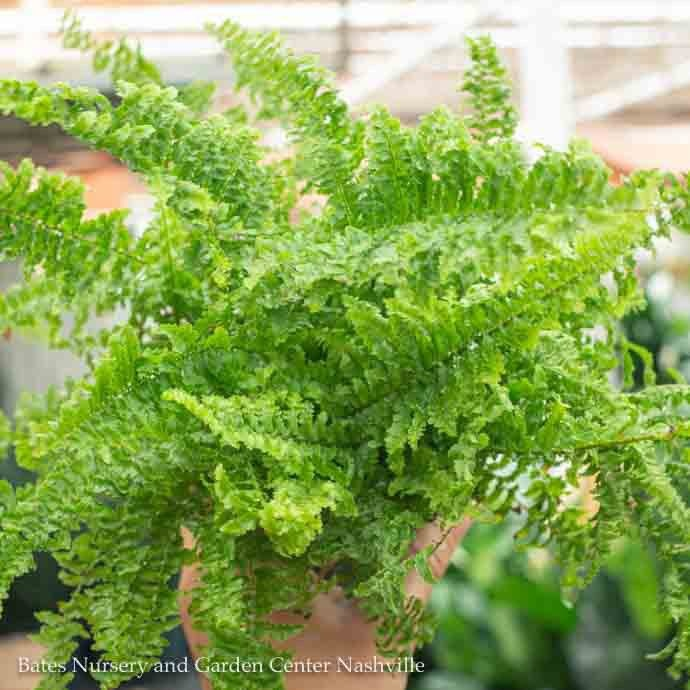 4p! Fern - Fluffy Ruffle Fern /Tropical