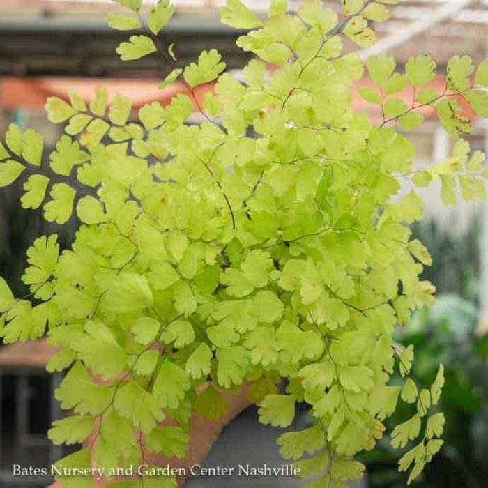 4p! Fern - Maidenhair Fern Rosy /Tropical