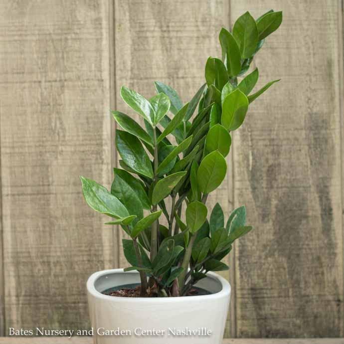 4p! Zamiculcus / ZZ Plant /Tropical