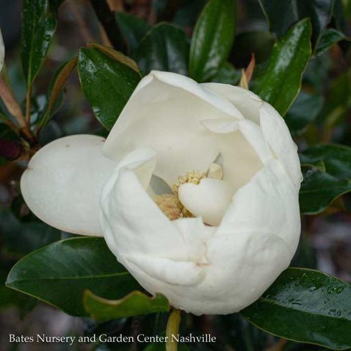 #5 Magnolia grand. 'Bracken's Brown Beauty'/Southern